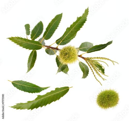 Fruits,feuilles et fleurs du châtaignier