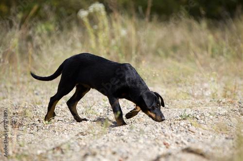 Photo  jeune berger de beauce suivant une piste avec son flair