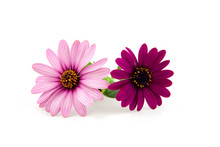Two Pink Daisy Flowers Over White Background