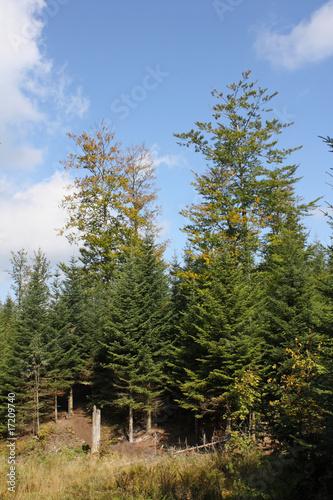 Fotografia  Bäume am Luchspfad Plättig im Schwarzwald