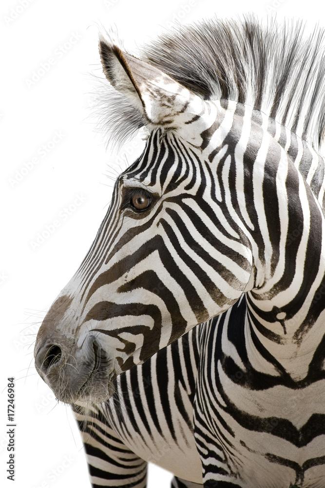 Fototapety, obrazy: Zebra 001