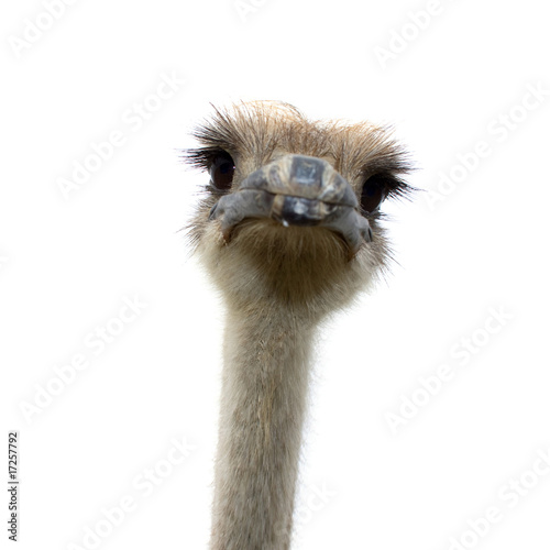 Fotobehang Struisvogel ostrich isolated on white background