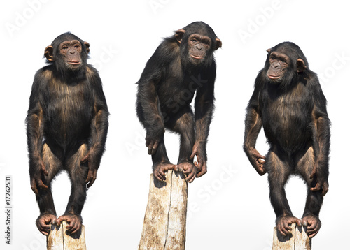 three chimpanzees Canvas Print