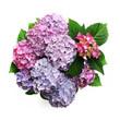 Colorful hortensia bush