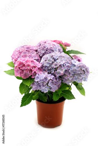 Photo sur Aluminium Hortensia Hortensia bush in the pot