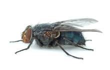Big Blue Redhead Fly (Callipho...