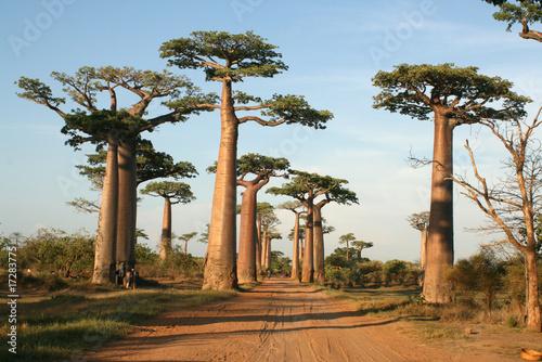 Fond de hotte en verre imprimé Baobab Allée des baobabs