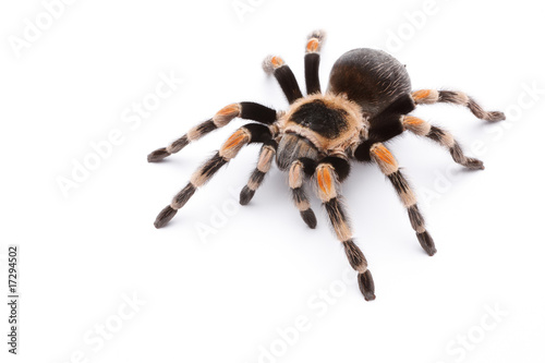 red knee tarantula Canvas