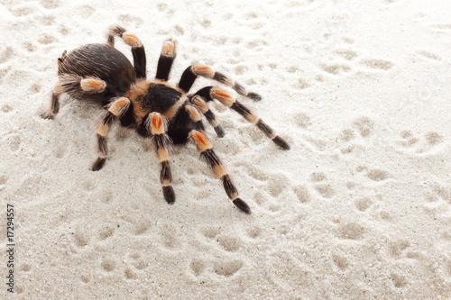 czerwona-tarantula-kolana