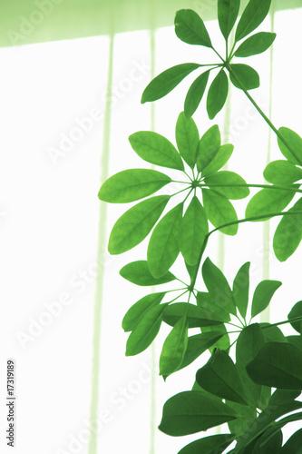 Poster Vegetal カポック