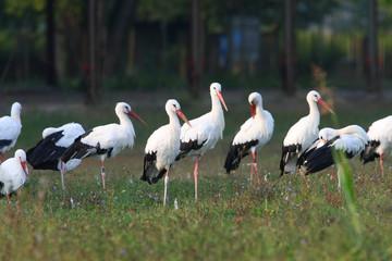 Ciconia ciconia - White Stork (2)