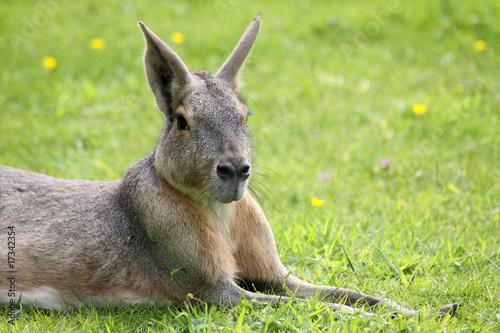 Photo Stands Kangaroo Mara oder Pampashase
