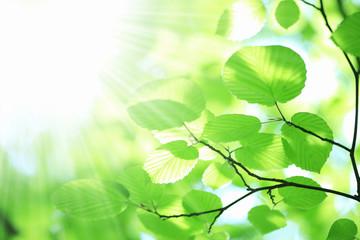 Fototapeta na wymiar 新緑の葉っぱ