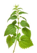 Green Nettle Plant