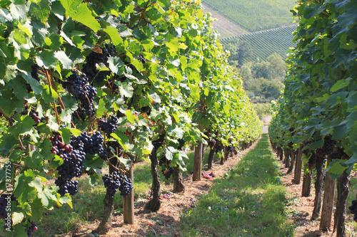 Fototapeta winnica   winorosl