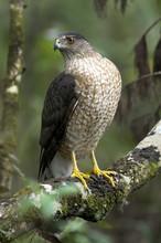 Coopers Hawk, Accipiter Cooperii