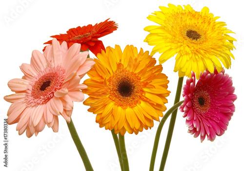 Ingelijste posters Gerbera flowers