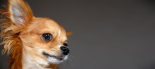 Funny Red Chihuahua Portrait