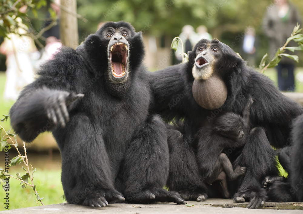 Fototapeta Siamang Gibbon monkey