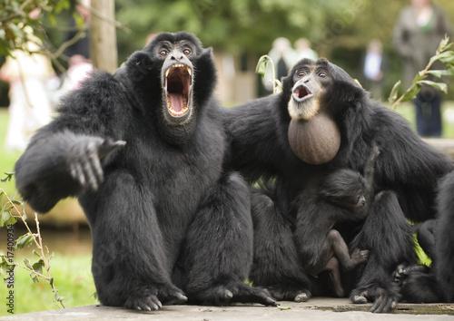 Canvas-taulu Siamang Gibbon monkey