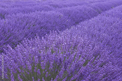 Spoed Foto op Canvas Lavendel Lavander field in Provence