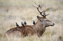 Starlings Getting Ready To Eat On The Back Of A Red Deer Stag
