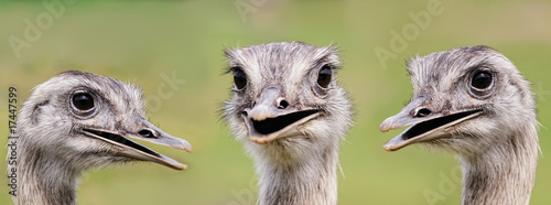 Deurstickers Struisvogel Ostrich group portrait