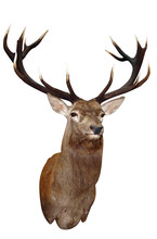 14 Point Sika Stag's Head With...