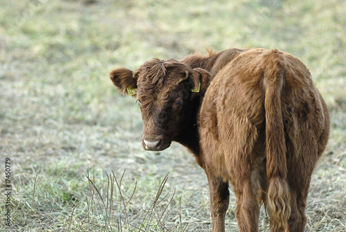 Photo Stands Cow minikuh 2