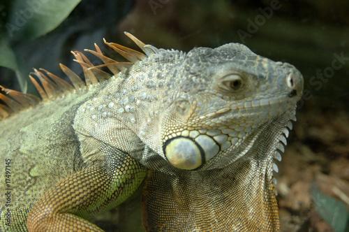 Foto auf AluDibond Chamaleon kameleon