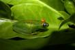 Frosch Ranomafana