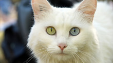 Chat  Yeux Bicolore