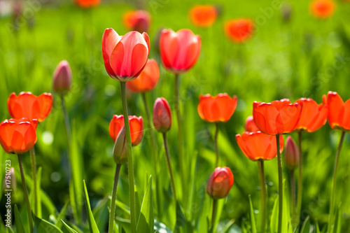 Poster Tulip Red yellow tullips on daylight