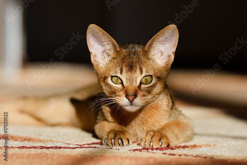 Fotobehang Puma young Abyssinian cat in action