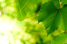 Green Leaf And Sun, Leaves With Sunbeam In A Wineyard