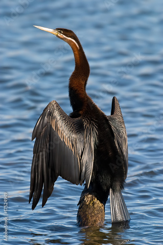 African Darter Canvas-taulu