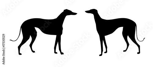 illustration greyhound on white background Fototapeta