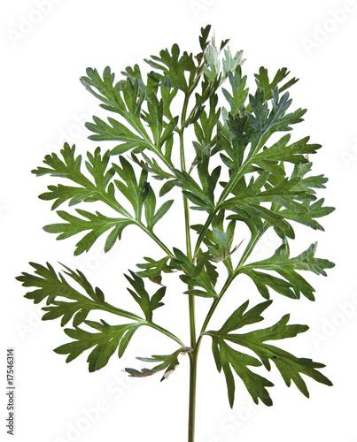 Photo Wermut (Artemisia absinthium)