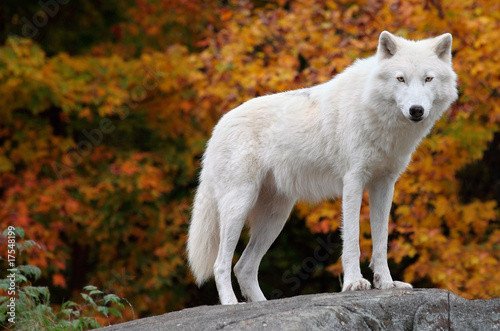 Tuinposter Wolf Arctic Wolf Looking at the Camera on a Fall Day