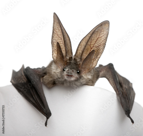 Fotografering Grey long-eared bat, in front of white background, studio shot