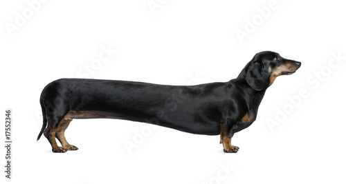 Deurstickers Luipaard Long Dachshund, standing in front of white background