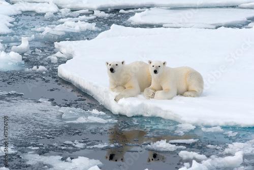 Staande foto Ijsbeer Polar Bears