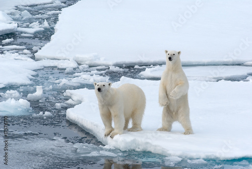 La pose en embrasure Ours Blanc Polar Bears