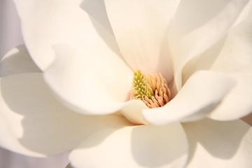 Cvjetovi bijele magnolije
