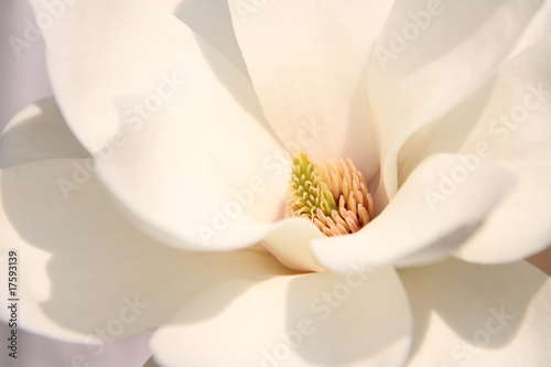 Foto op Canvas Magnolia White magnolia flowers