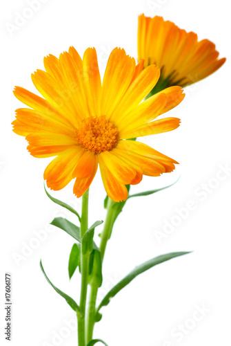 Obraz Herbs: Two calendula flowers - fototapety do salonu