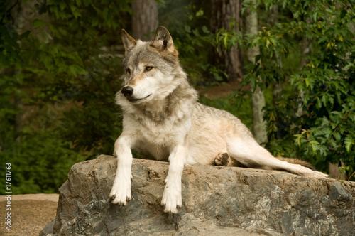 Photo  watchful great plains wolf