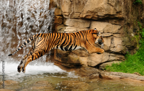 Tiger in mid-air Canvas Print