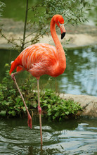 American Flamingo Standing On The Single Leg In Water
