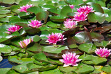Fototapeta Kwiaty - Kwiaty wodne